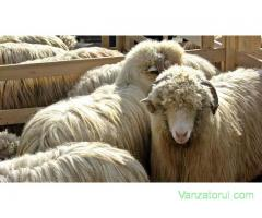 Vand 140 oi turcane si Carabas, cu 100 miei