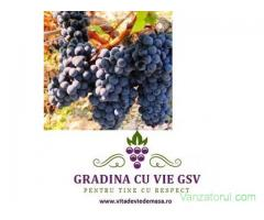 Burgund Mare butasi vita de vie la Gradina cu vie GSV