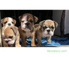 Bulldog englezesc pentru adoptare.
