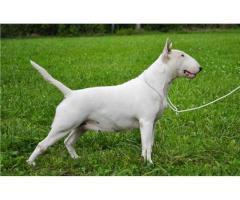 Pui Bull Terrier